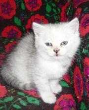 Продам экзотического-короткошерстного котёнка