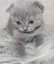 Продаются котята Шотландцы