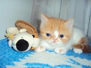Продам экзотического короткошерстного котика,  1, 5 мес